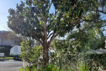 Tree pruning Auckland Stott & Co Tree Experts