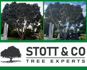 Pohutukawa tree formatively pruned - before and after